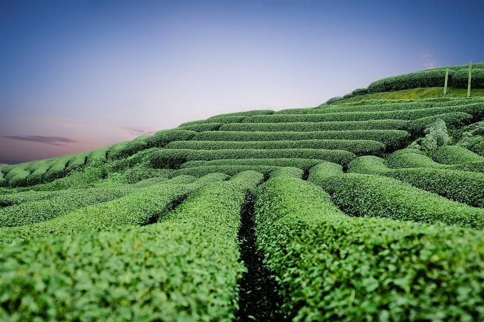 Mocチャウティーの丘, Mocチャウ茶土井, 丘の紅茶, ヨーロッパの大工, モックチャウ、ソンラ