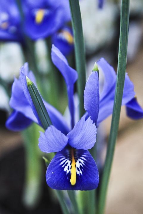 iris fr hlingsblumen blaue kostenloses foto auf pixabay. Black Bedroom Furniture Sets. Home Design Ideas