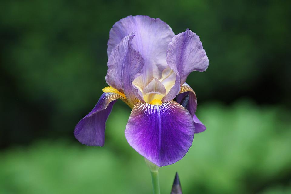 free photo irises, flowers, gardens, plant  free image on, Beautiful flower