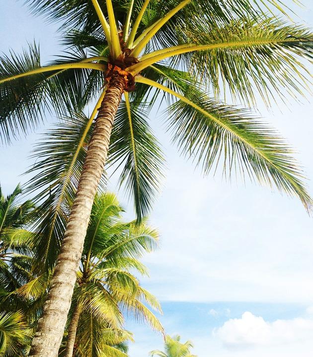 palmier floride