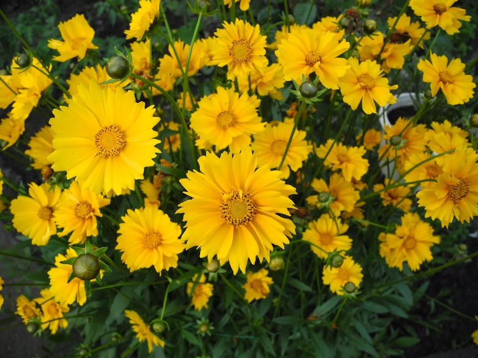 Цветы жёлтые ромашки