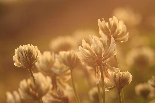 クローバー, 花, 植物, 自然, 夏, 花柄