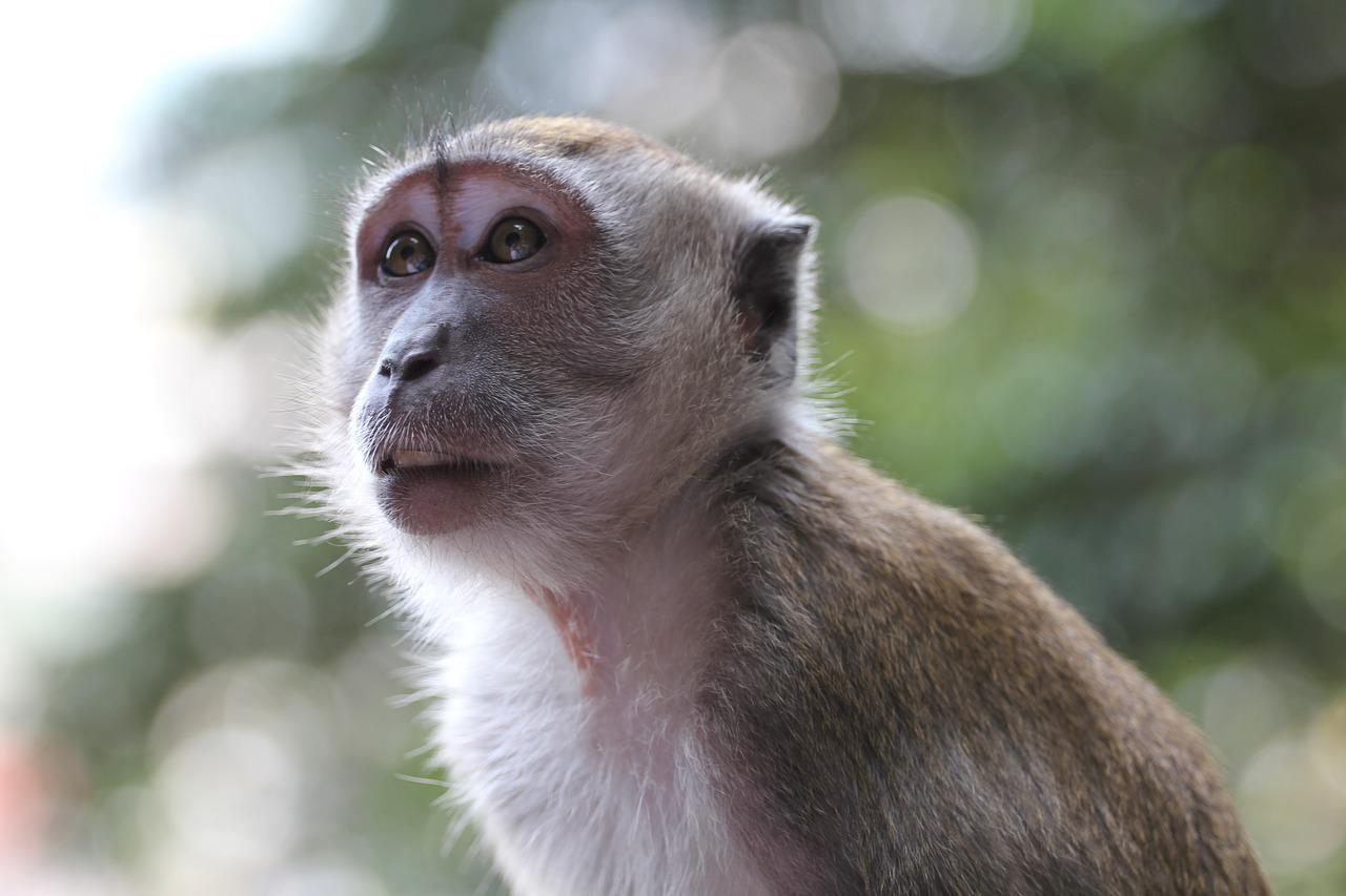 Картинки обезьяна чичичи
