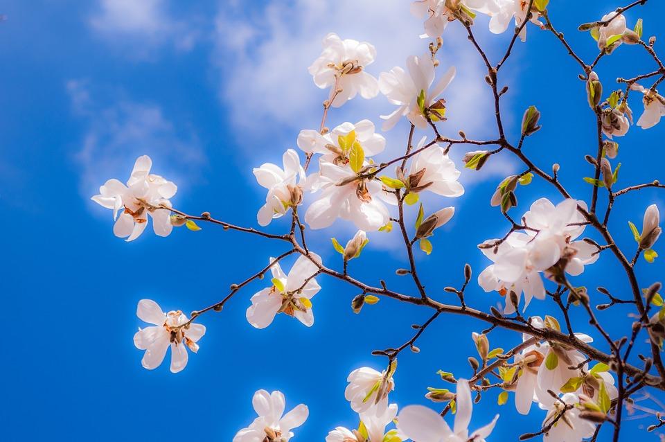 Magnolia flowers spring free photo on pixabay magnolia flowers spring bud tree pink full bloom mightylinksfo Gallery