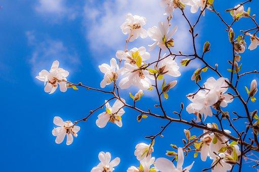 magnolia-2096959__340