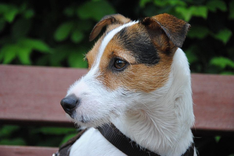 Dog, Terrier, Small Dog, Dog Look, Dog Head