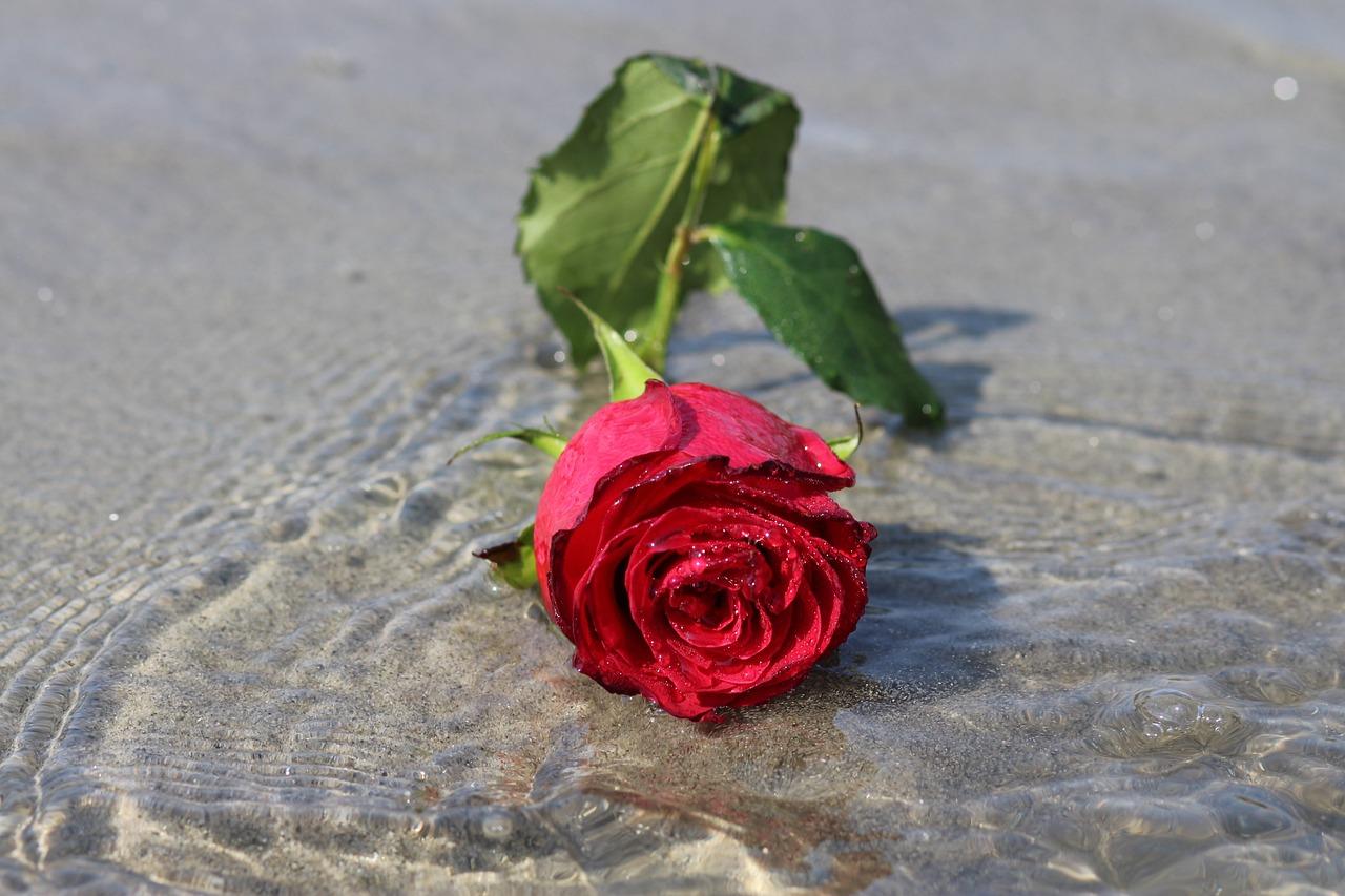 Одинокая роза открытка