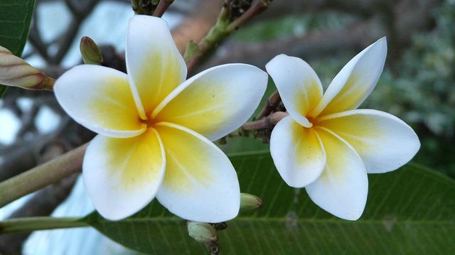 Bali Flowers Frangipani · Free photo on Pixabay