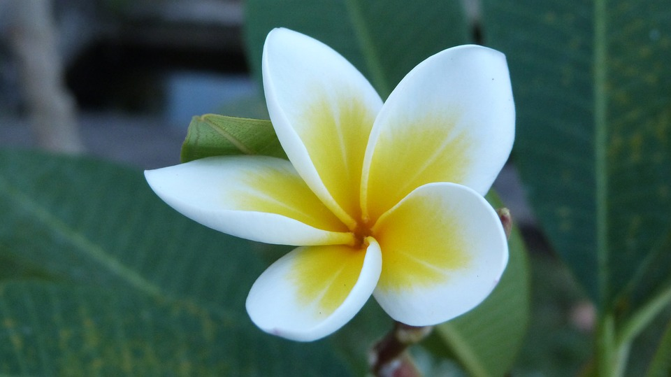 bali flower frangipani 183 free photo on pixabay