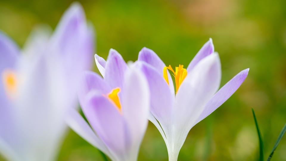 Krokus, Wiosna, Kwiaty, Purpurowy, Fioletowy, Łąka