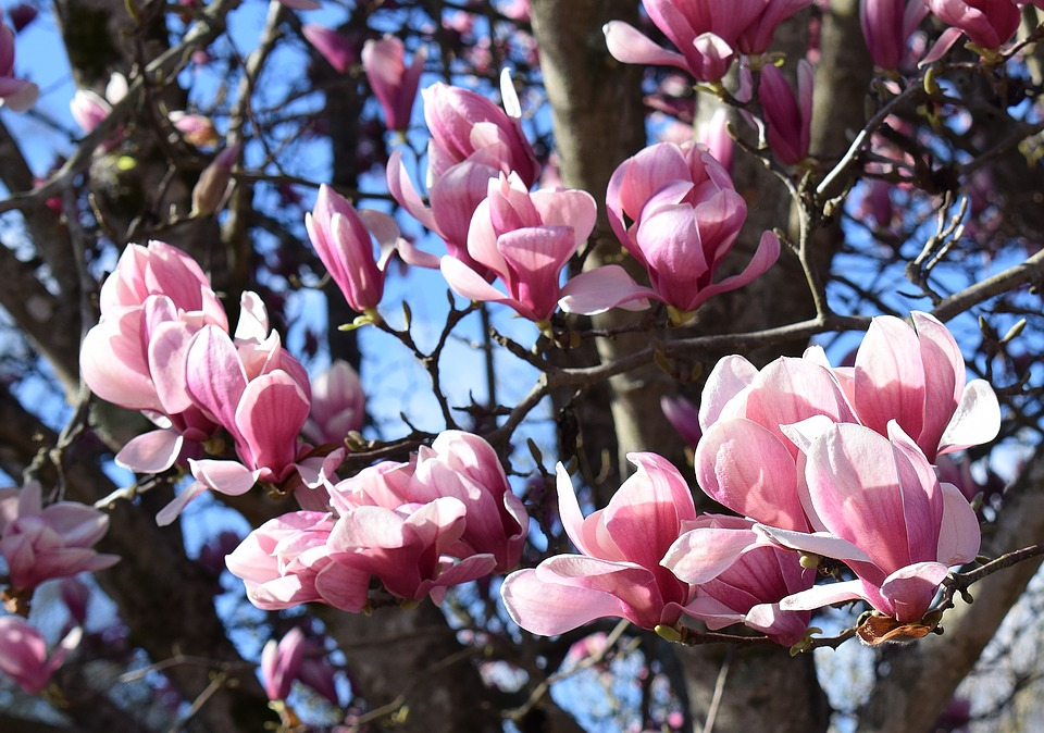 Pink Magnolia Tree Free Photo On Pixabay