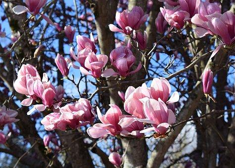 magnolia blossom free images on pixabay. Black Bedroom Furniture Sets. Home Design Ideas