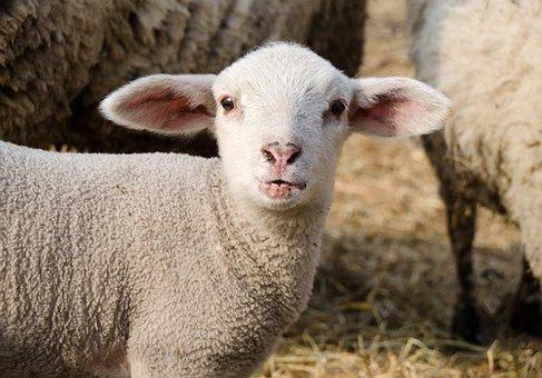Lamb, Passover, Schäfchen, Cute, Animal