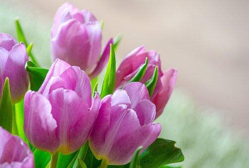 チューリップ, 早期に咲く花, スプリング, 花, 紫, クローズ, 花束