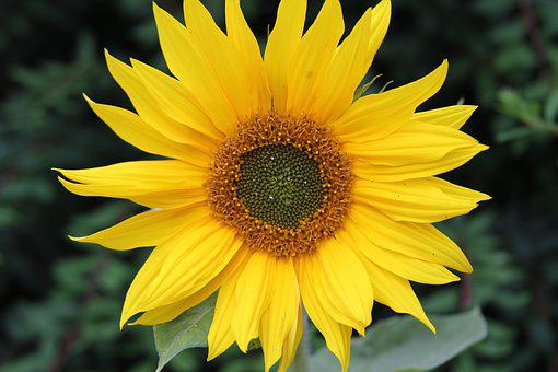 sunflower  free images on pixabay, Beautiful flower
