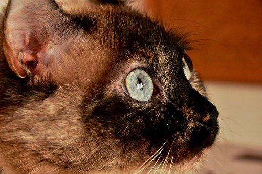 Animal, Beautiful, Brown, Hair, Cat
