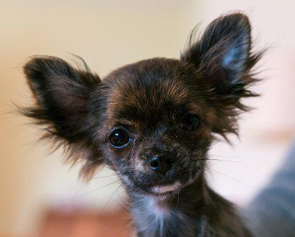 Chihuahua, Dog, Puppy, Baby, Face, View