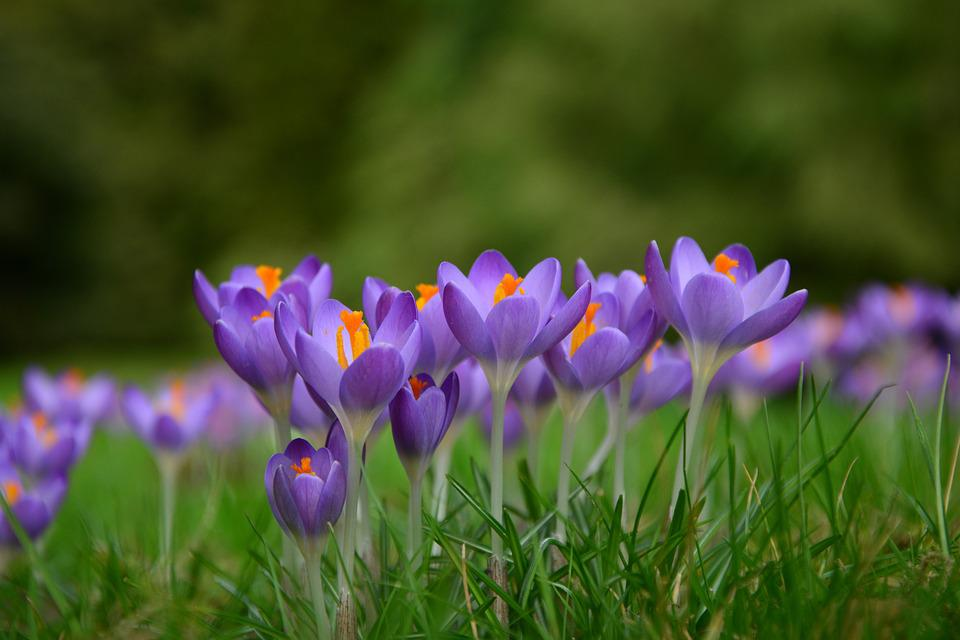 Crocus spring flowers free photo on pixabay crocus spring flowers frhlingsanfang spring mightylinksfo