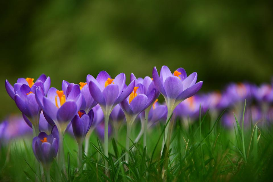 Crocus Spring Flowers Free Photo On Pixabay
