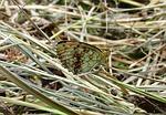 butterfly, insect, lepidoptera