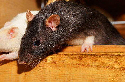 Rat, Curious, Cute, Fur, Rodents, Close
