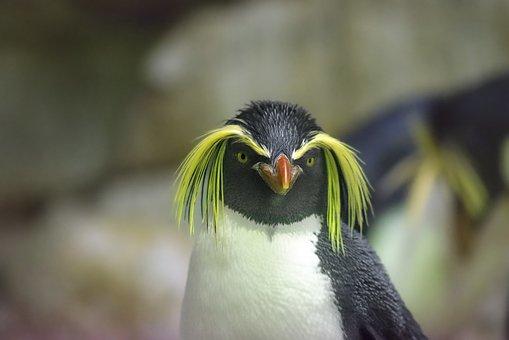 Pingüino, Pingüino De Penacho Amarillo