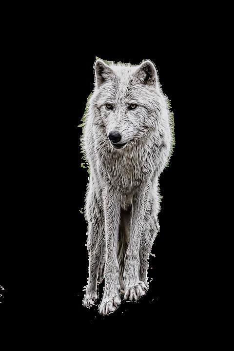 wolf photo manipulation white 183 free image on pixabay