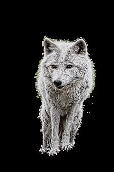 300 Free Wolf Animal Illustrations Pixabay