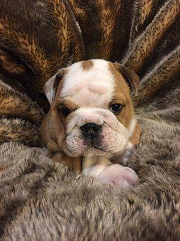 Bulldog, Puppy, Dog, Cute, Pedigree
