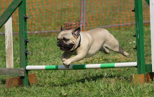 Dog Pug Training Jumping Breed Pedigree Do