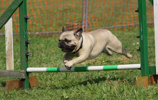 Dog, Pug, Training, Jumping, Breed
