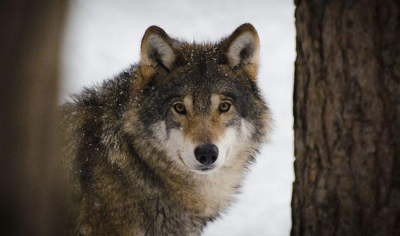 Wolf, Predators, Wildlife, Winter