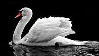 Swan, Water, White, Water Bird