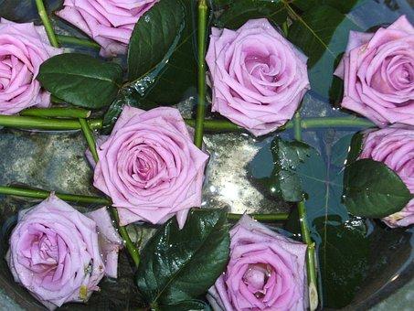 purple, rose  free images on pixabay, Beautiful flower