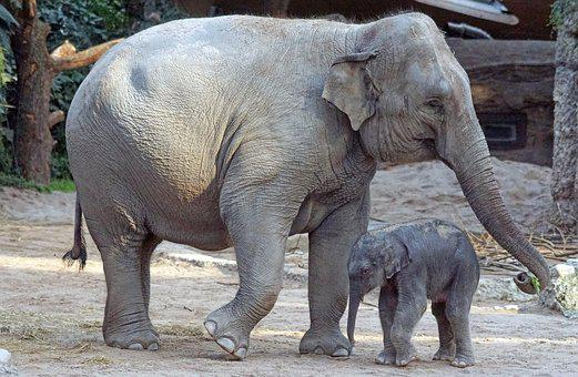 Éléphant D'Asie, Jeune Animal, Veau