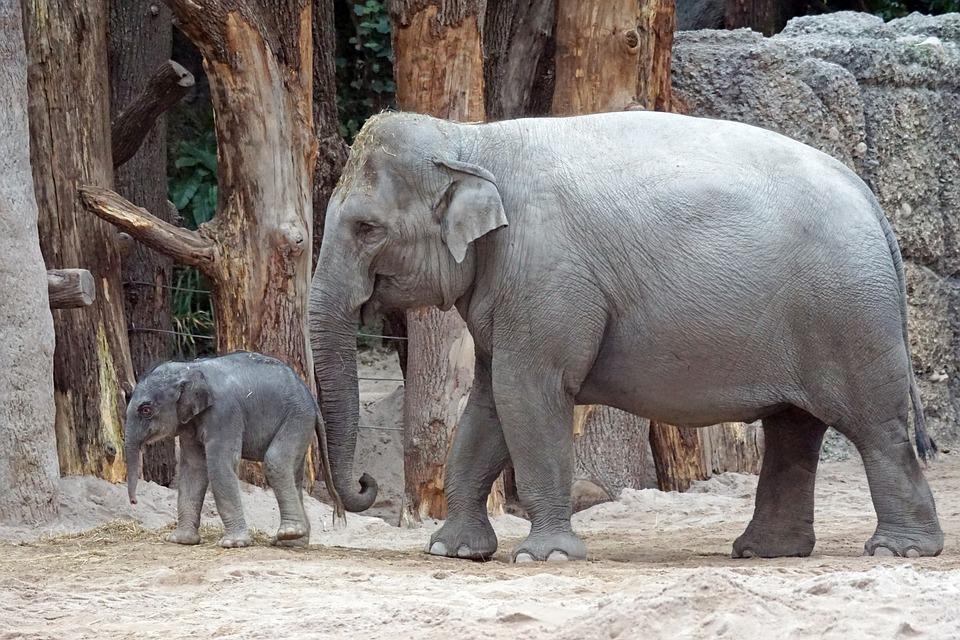 Gajah Asia Binatang Muda Betis Foto Gratis Di Pixabay