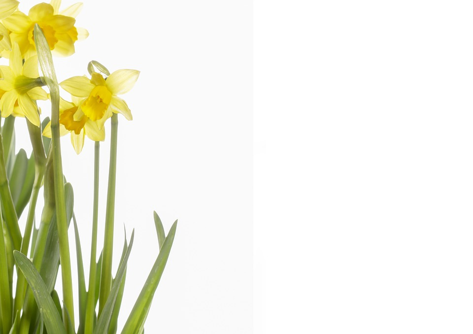 Daffodils images pixabay download free pictures flowers daffodils yellow spring narcissus mightylinksfo