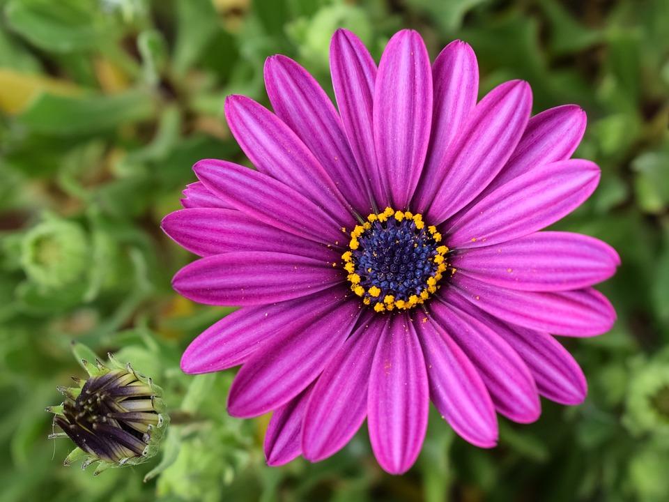 Free Photo African Daisy Osteospermum Garden Free