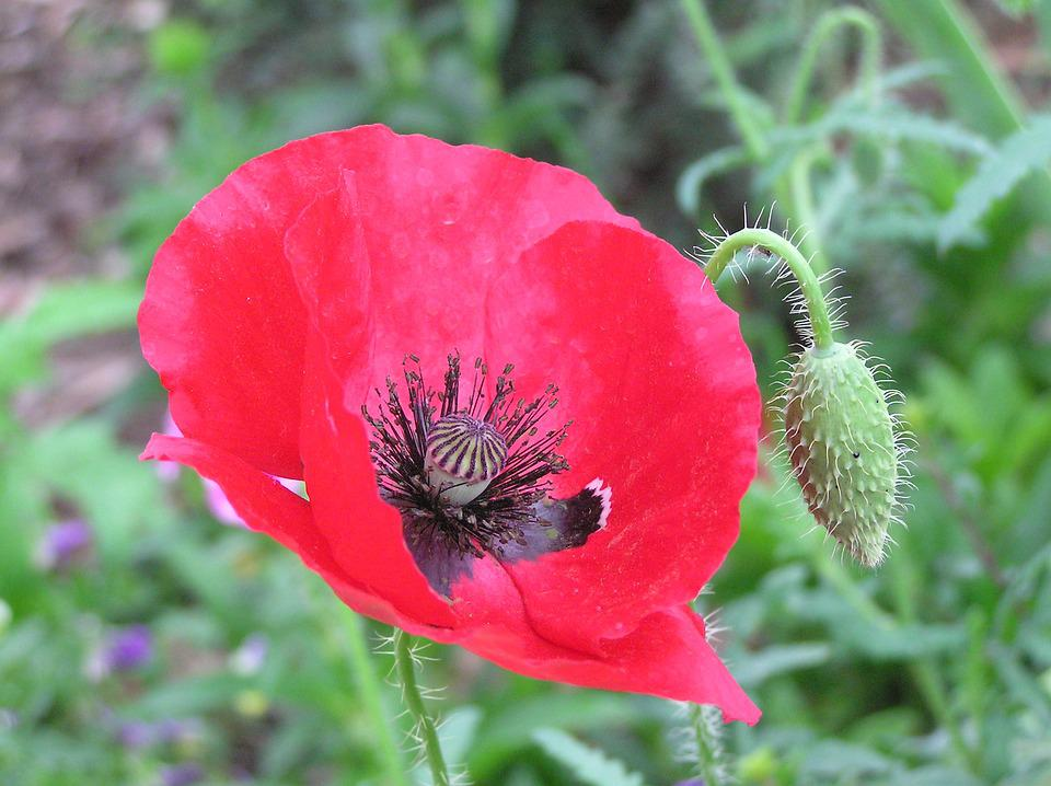 Remembrance day poppy flower free photo on pixabay remembrance day poppy flower red war floral mightylinksfo