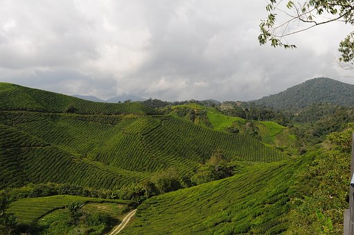 Tea, Plantation, Field, Agriculture