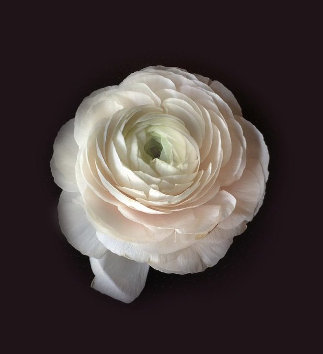 free photo ranunculus, flowers, white flower  free image on, Beautiful flower