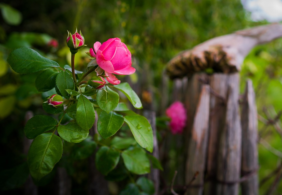 Rose Bokeh Blossom 183 Free Photo On Pixabay