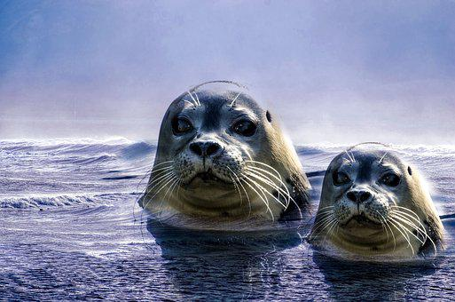 Seal, Grey, Animal, North Sea