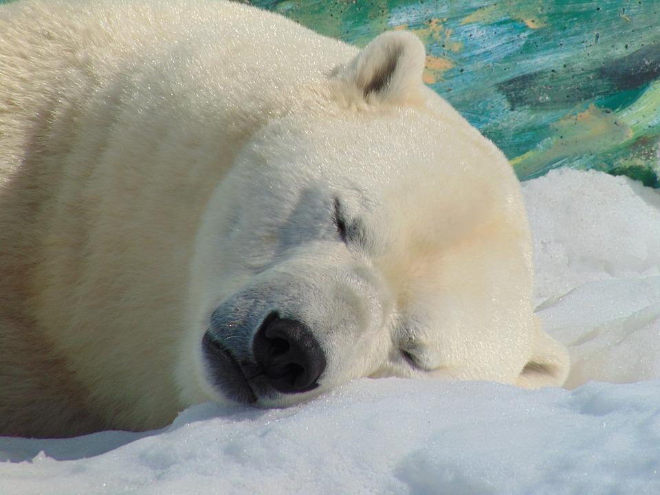 polar bear head snow free photo on pixabay