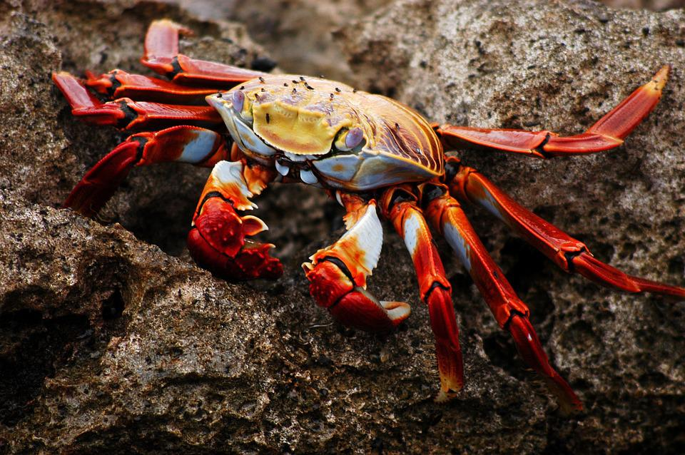 Crab, Galapagos, Ecuador, Nature, Wildlife