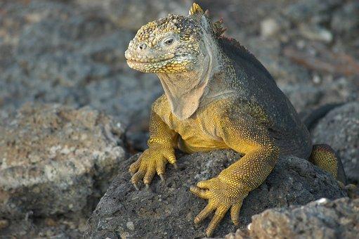 Lizard Galapagos Echse Ecuador Nature Isla