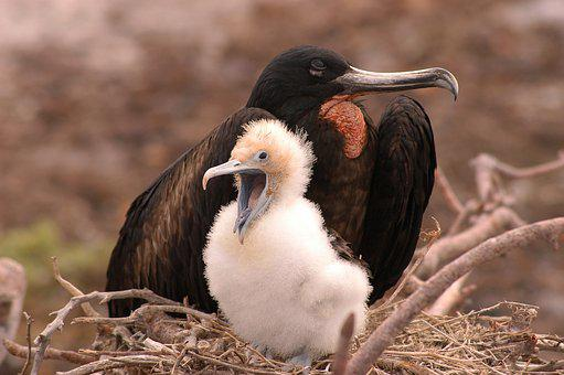 Bird Galapagos Fregate Animal Nest Galapag