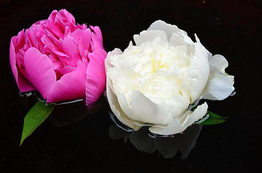 White peony images pixabay download free pictures flower white red surface peace foliage ref mightylinksfo