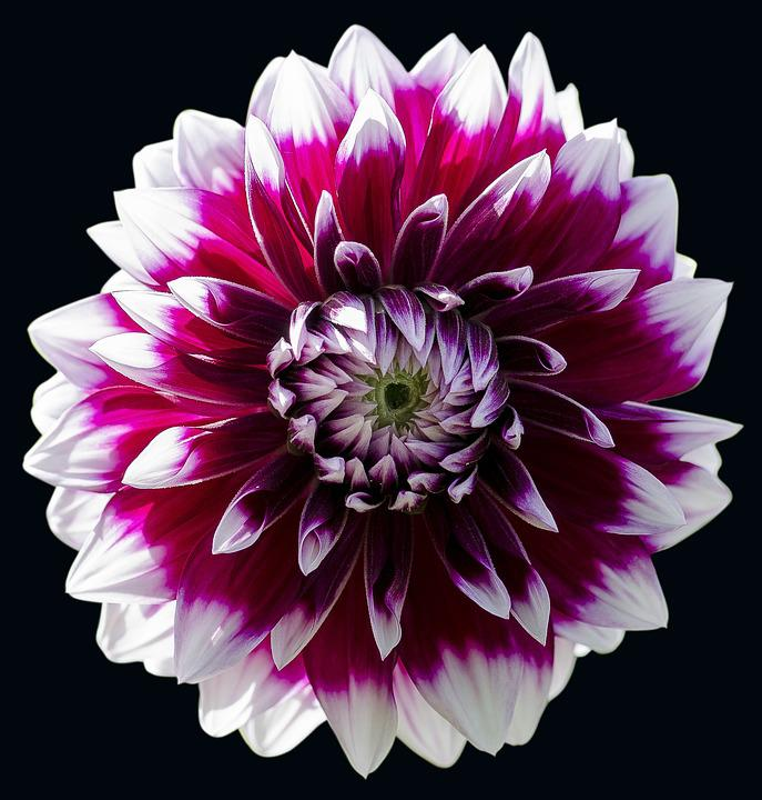 Flower Dahlia Floral Free Photo On Pixabay