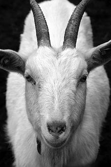 Goat, Billy Goat, Horns, Head, Close